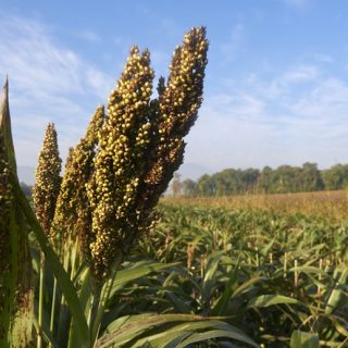 Sorghum – the New Kid In Town